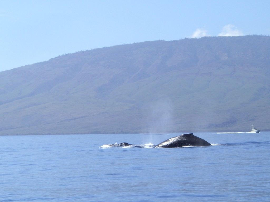 Whale watching Maui Hawaii