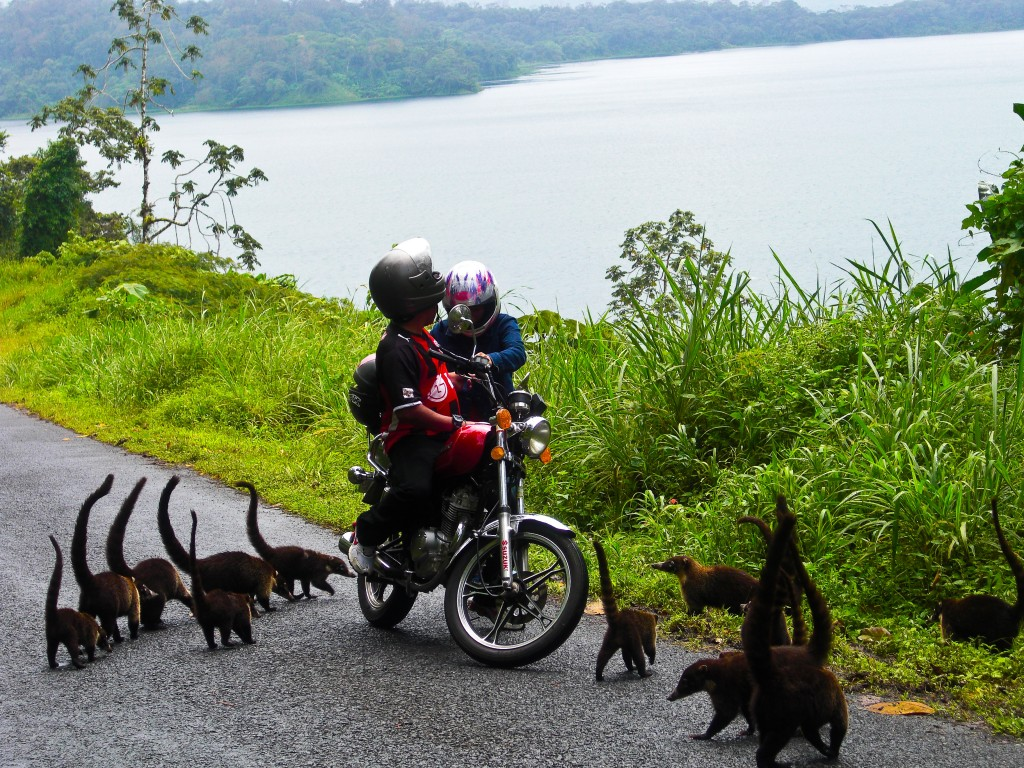 Ring-tailed coatis Costa Rica