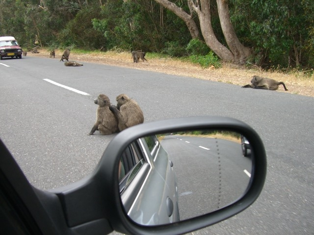 Chacma baboons South Africa