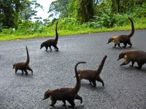 Ring-tailed coatis Costa Rica