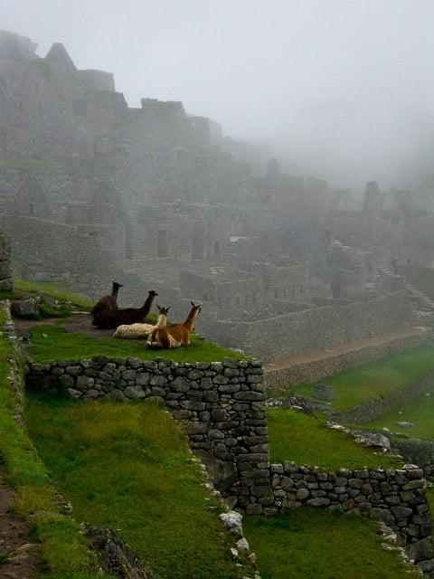 Alpacas Machu Picchu Peru
