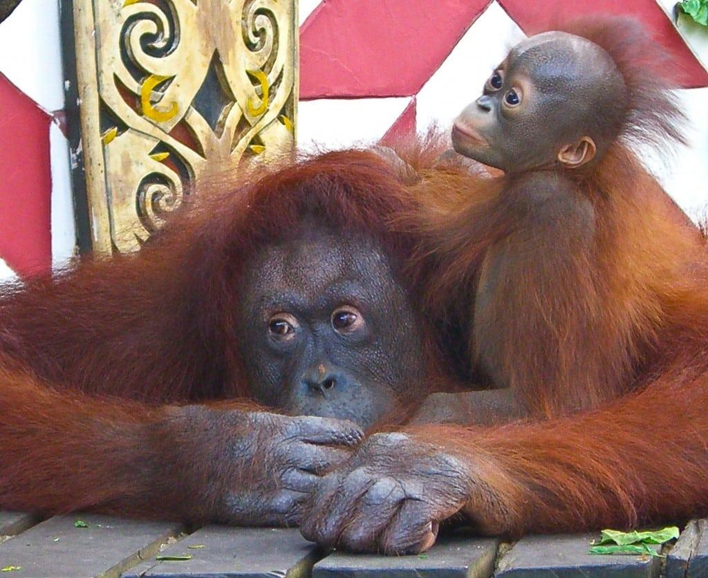Orangutans Singapore Zoo