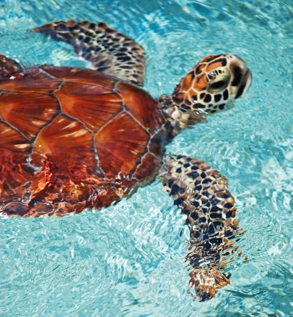 Sea turtle Bora Bora