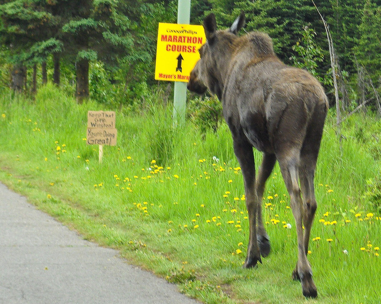 Moose Mayors Marathon Alaska