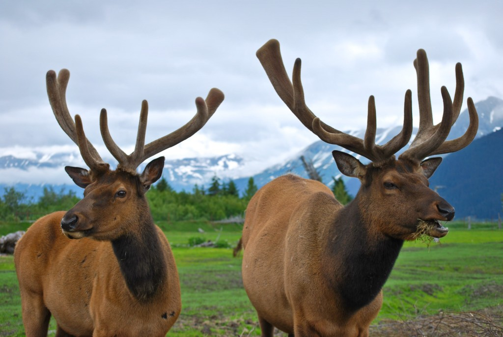Elk Alaska Wildlife Conservation Center