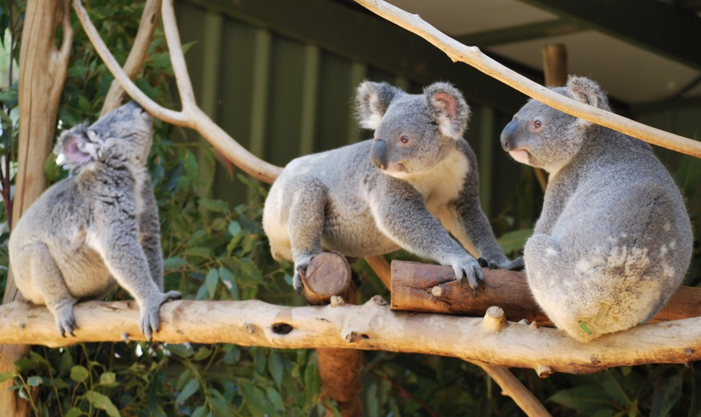 Lone Pine Koala Sanctuary Brisbane