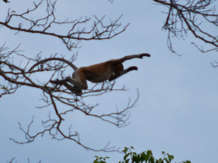 Proboscis Monkey Sabah Borneo