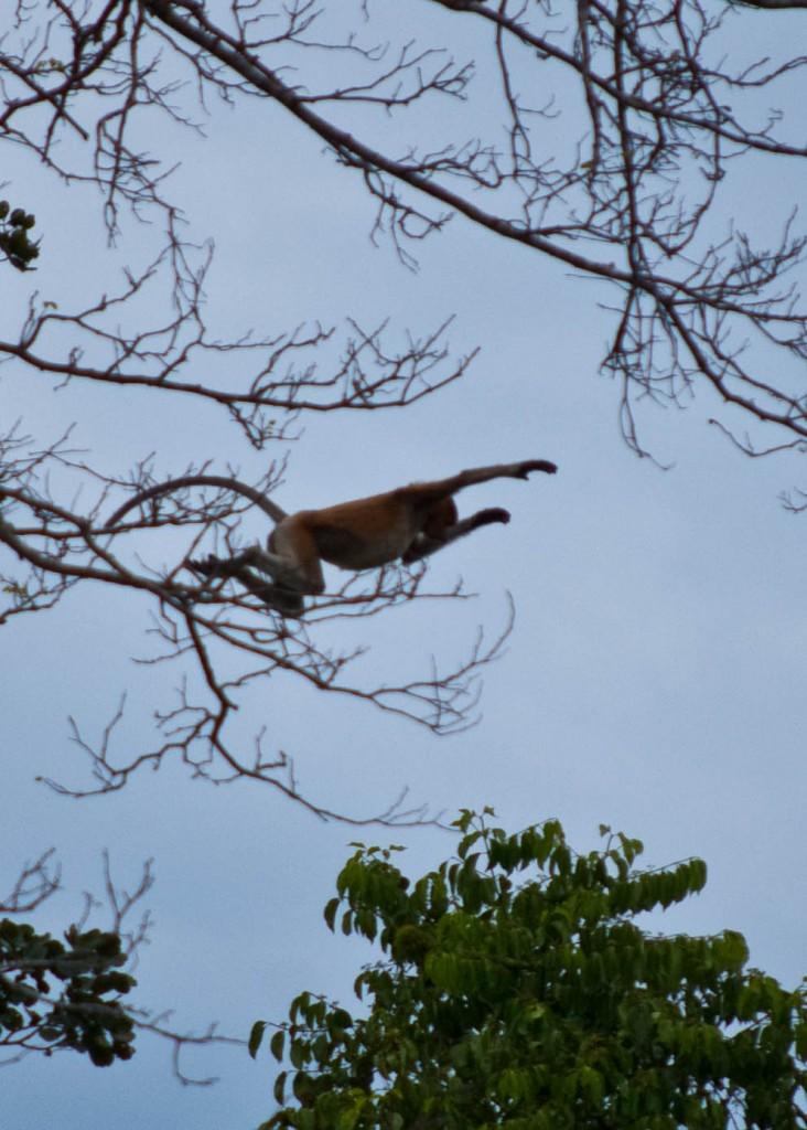 Monkey Business in Borneo