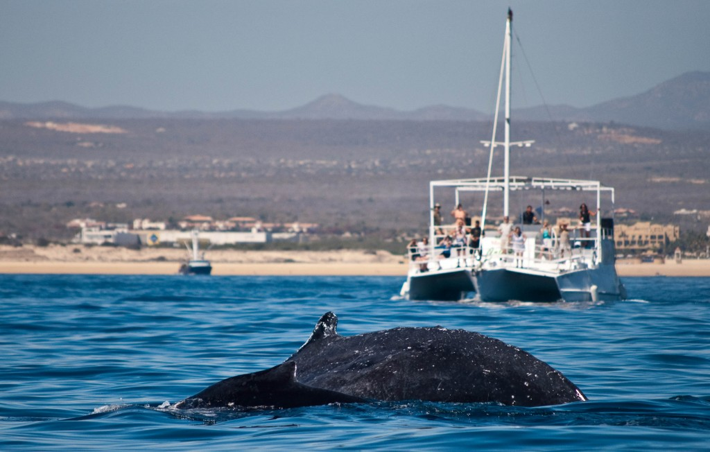 whale watching cabo san lucas mexico