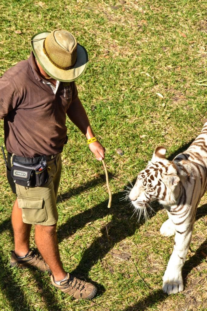 Tiger Casela Nature Park Mauritius