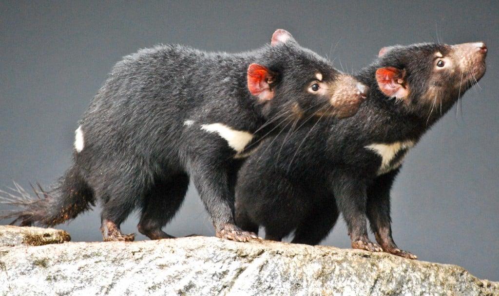 Tasmanian devils Taronga Zoo Sydney