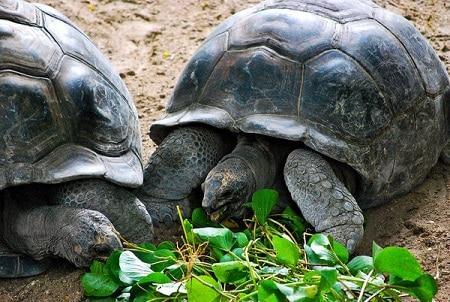 Giant tortoises Mahe Seychelles