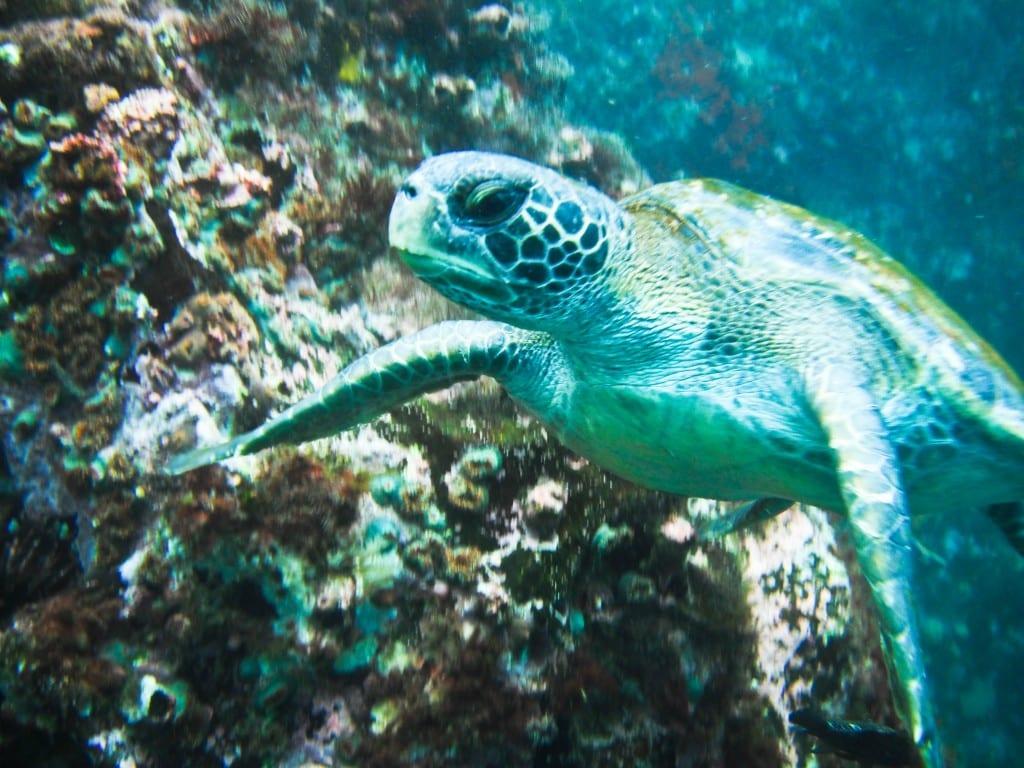 Sea turtle San Cristobal Galapagos