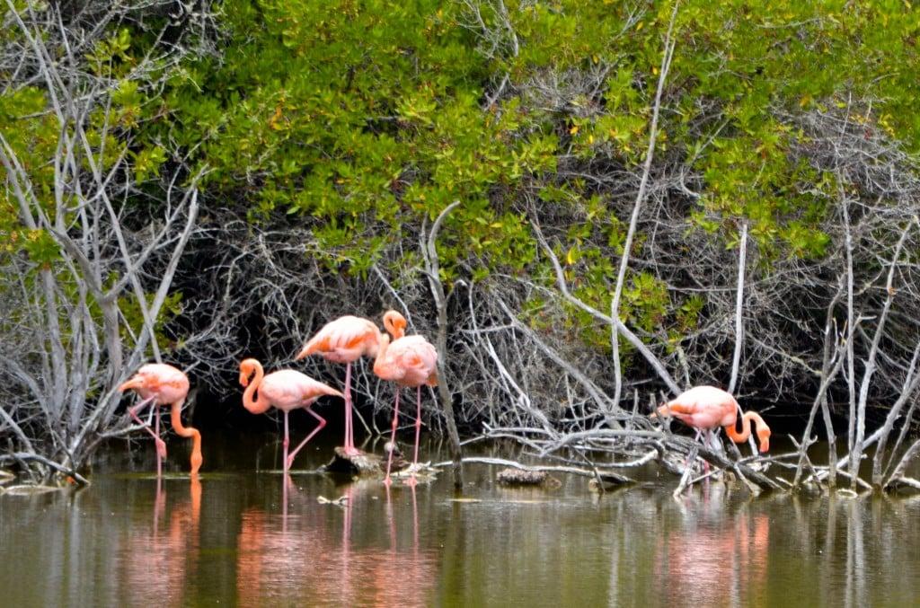 Flamingos, Puerto Villamil, Galapagos