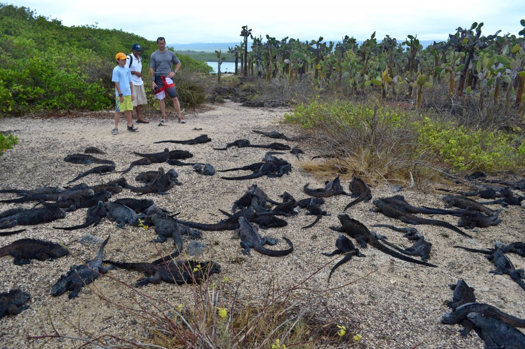 Iguana road block, Tortuga Bay, Galapagos
