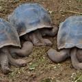 Giant Tortoises Galapagos