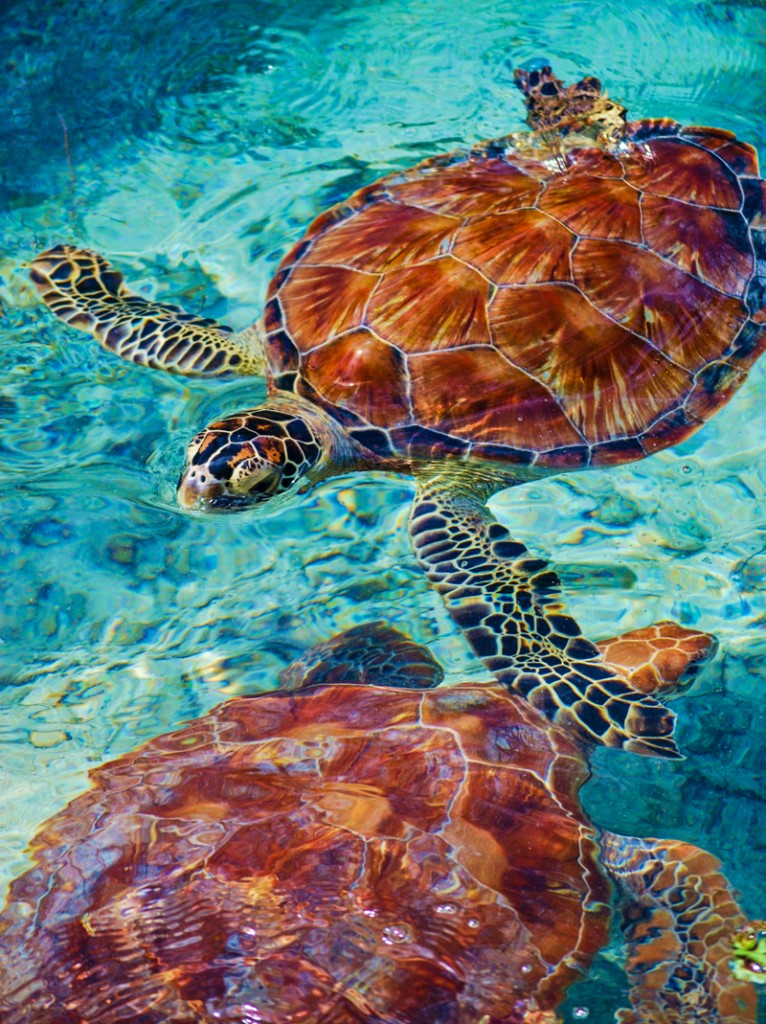 Sea Turtles Bora Bora Tahiti