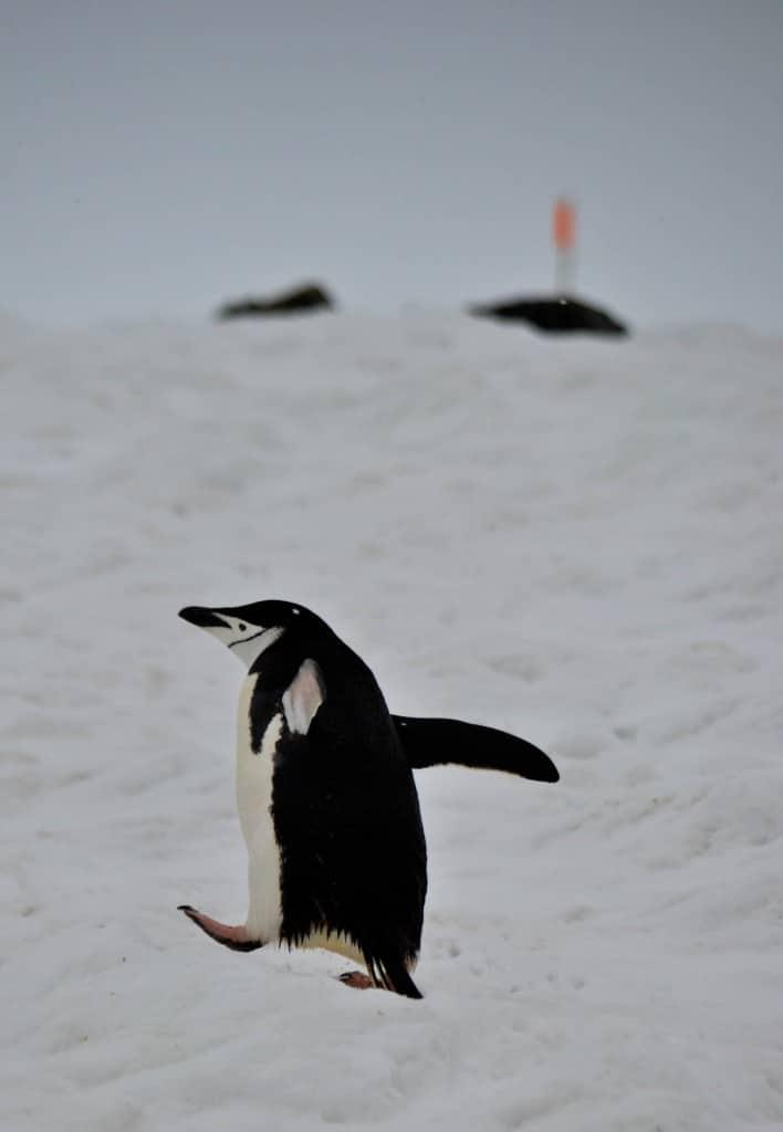 Chinstrap penguin Half Moon Island Antarctica