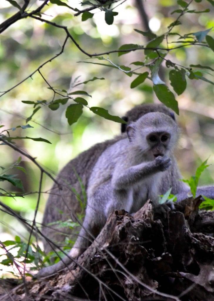 Velvet monkeys Victoria Falls Zimbabwe