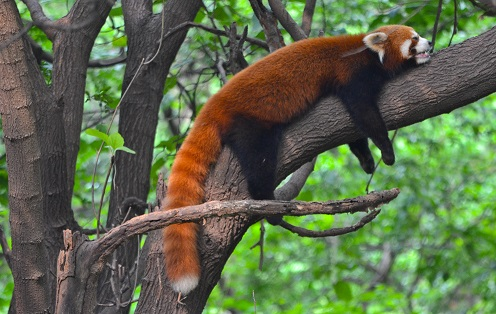 Red panda Chengdu Research Base China