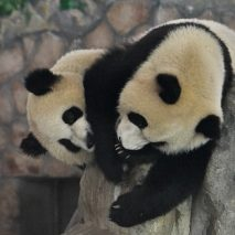 Panda-monium in Chengdu, China!