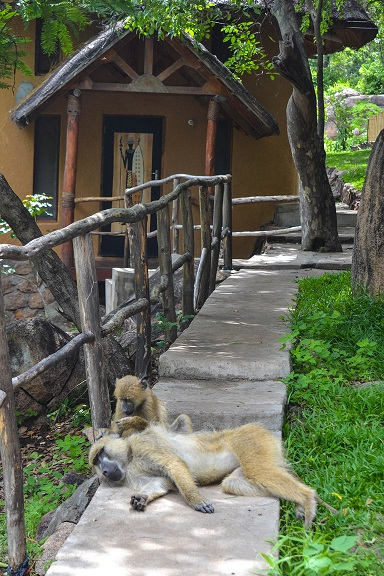 Baboons in Malawi