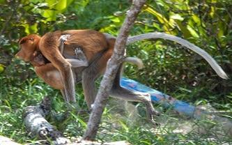 Proboscis monkeys Bako National Park Sarawak Borneo