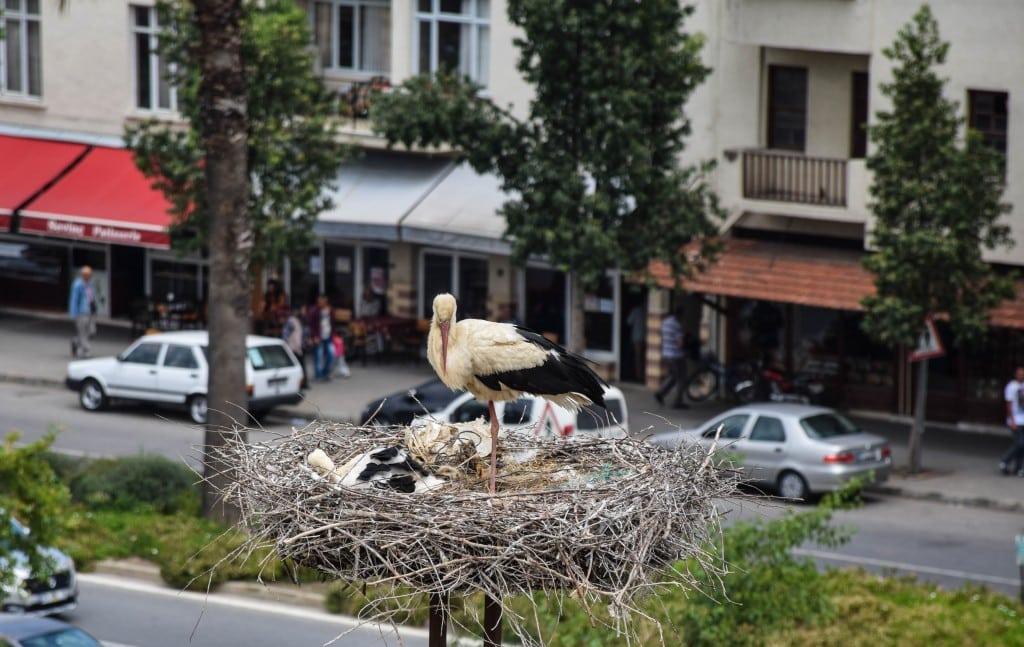 White Storks Selcuk Ephesus Turkey