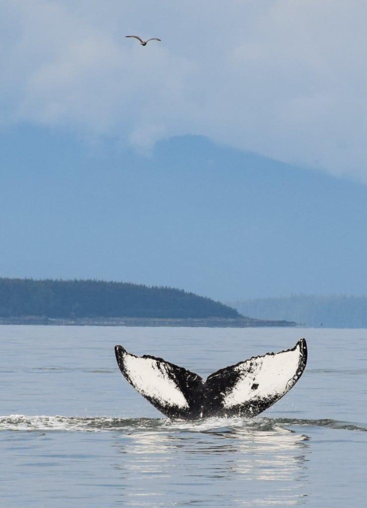 Humpback Whale Watching in Juneau Alaska