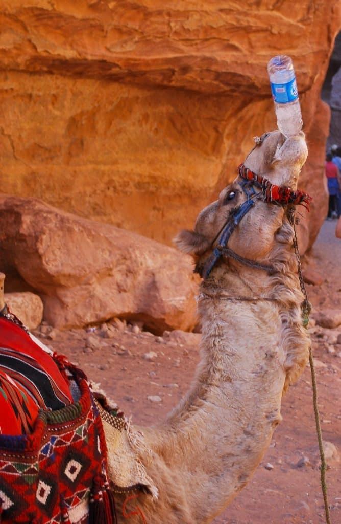 Camel Petra Jordan