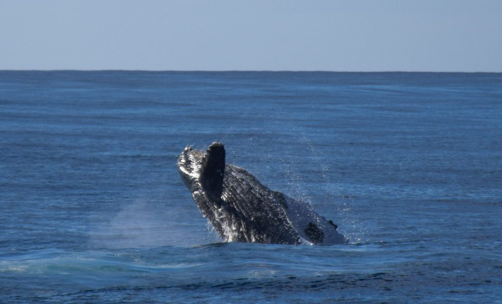 Humpback Whale Kauai Hawaii