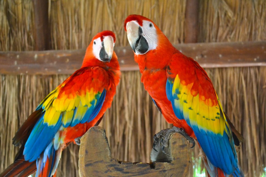 Xcaret Park red macaws Mexico