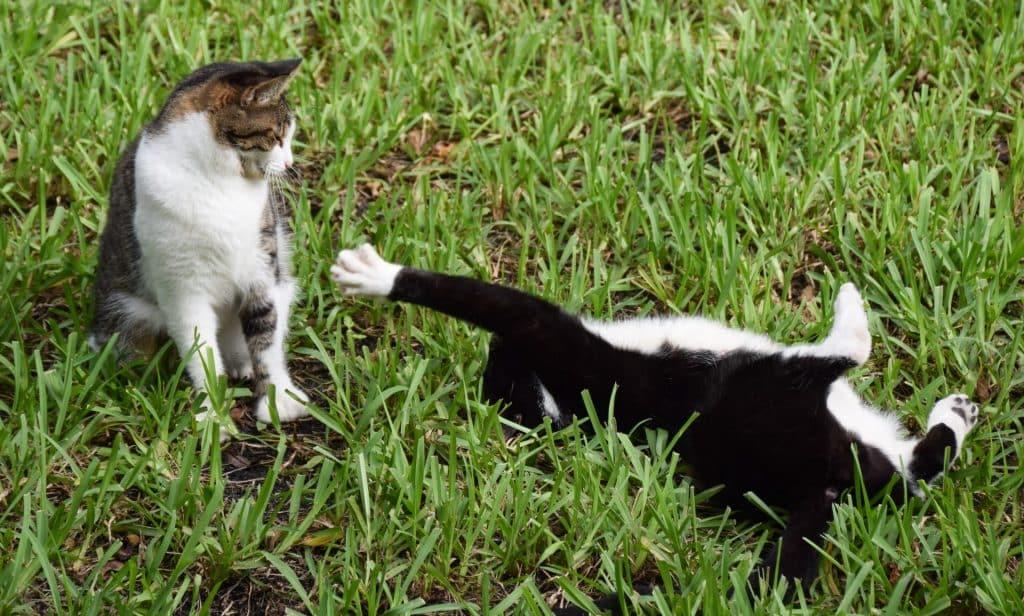Hemingway House six toed cats Key West